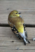 Late Fall Goldfinch