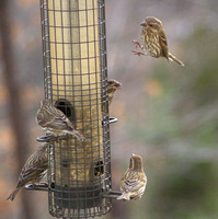 Many Female Purple Finches!