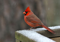 Cardinal On The Rail