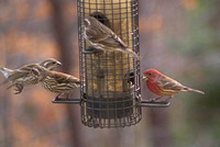 Female Purple Finches