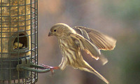 Female House Finch Landing