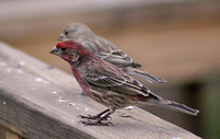 Male and Female House Finch